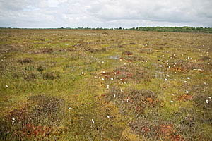 This bog vegetation in Ireland shows abundant Sphagnum mosses, which indicate a high-water table and healthy peatland.