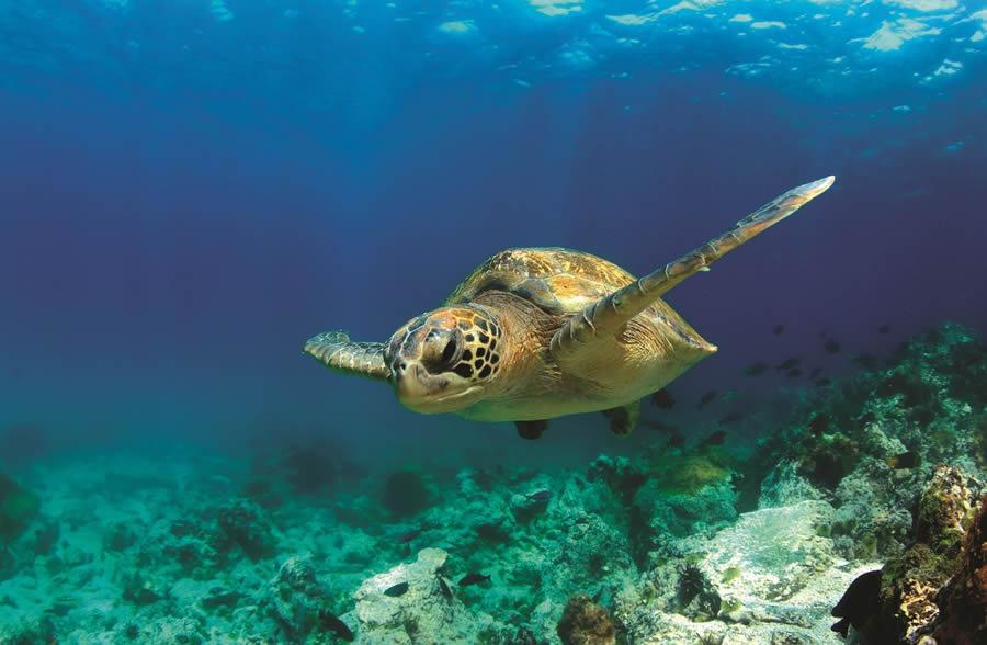 A sea turtle swims past schools of fish.