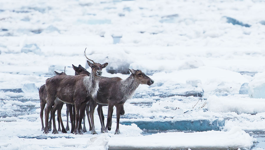 Humans in the Arctic have had a longstanding dependence on caribou, which have served as an important source for food, clothing, shelter, and more.