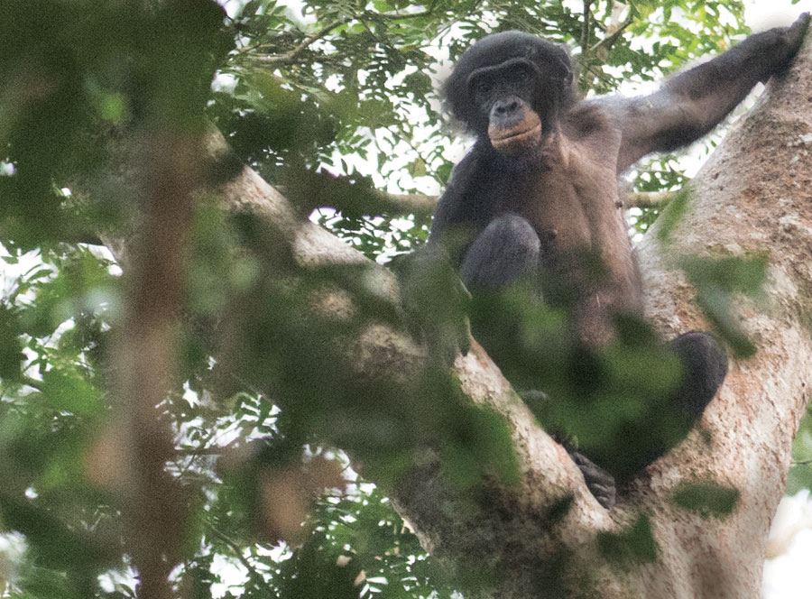 It is now known that Lomami is home to several important primates, including populations of the bonobo chimpanzee.