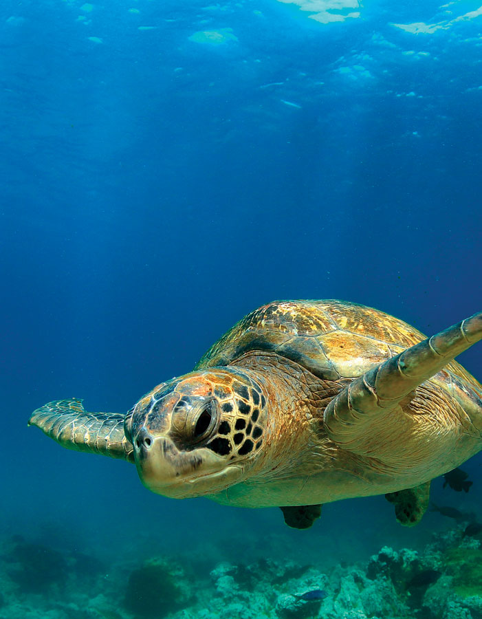 Snorkelers, scuba divers, and beachgoers can now help scientists track sea turtles.