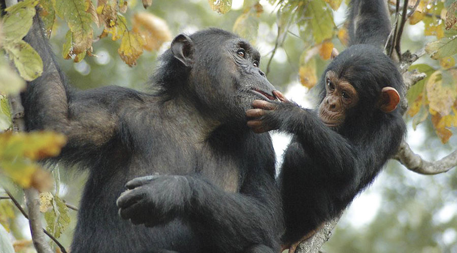 The Jane Goodall Institute (JGI) protects wild chimpanzees in and around Gombe National Park in Tanzania. (Image courtesy of JGI.)