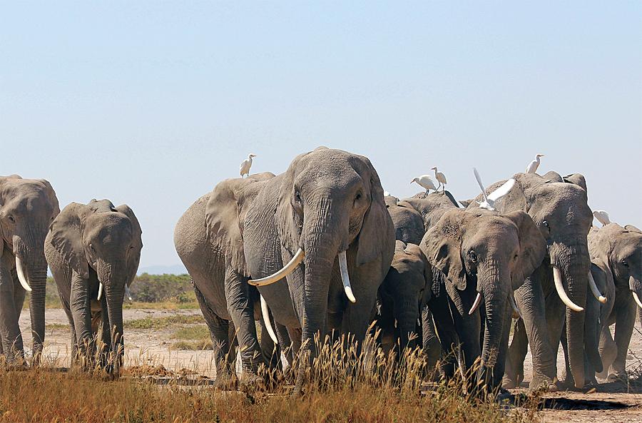 An elephant family roams freely in Kenya's Amboseli National Park. (Photo courtesy of the Amboseli Trust for Elephants.)