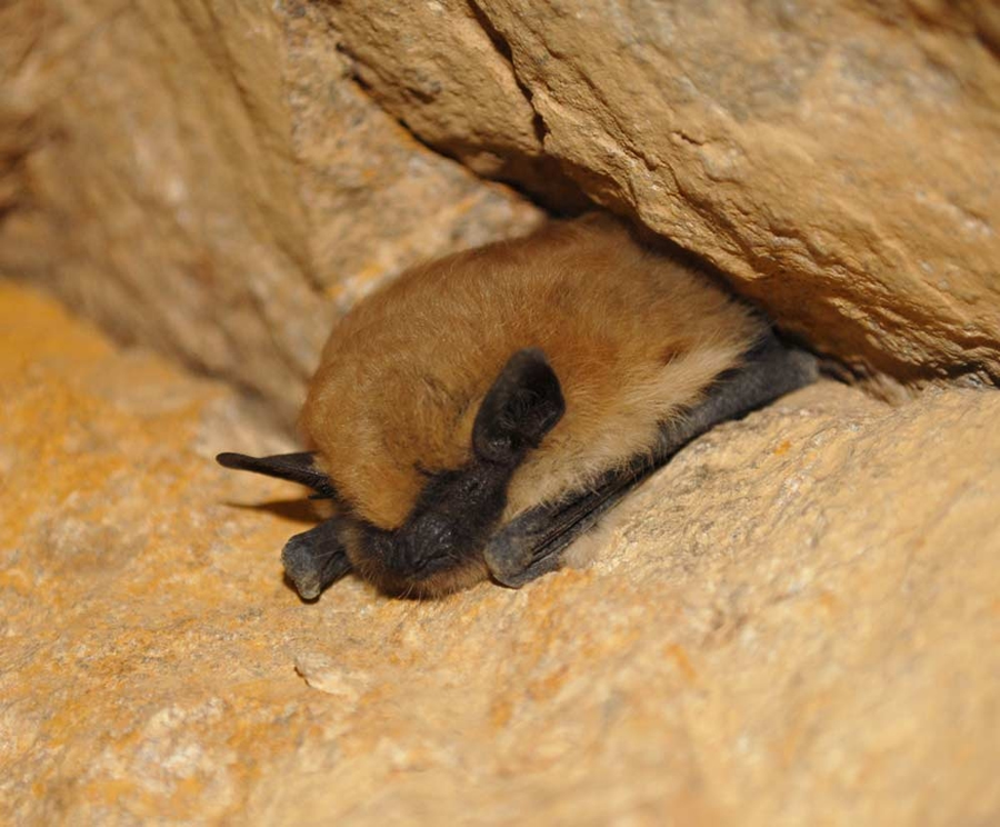 A bat takes a rest in a California mine.
