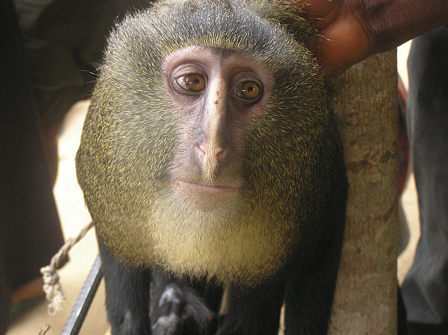 The lesula monkey (Cercopithecus lomamiensis), a new species of monkey documented by TL2 project researchers in the middle of Lomami National Park.