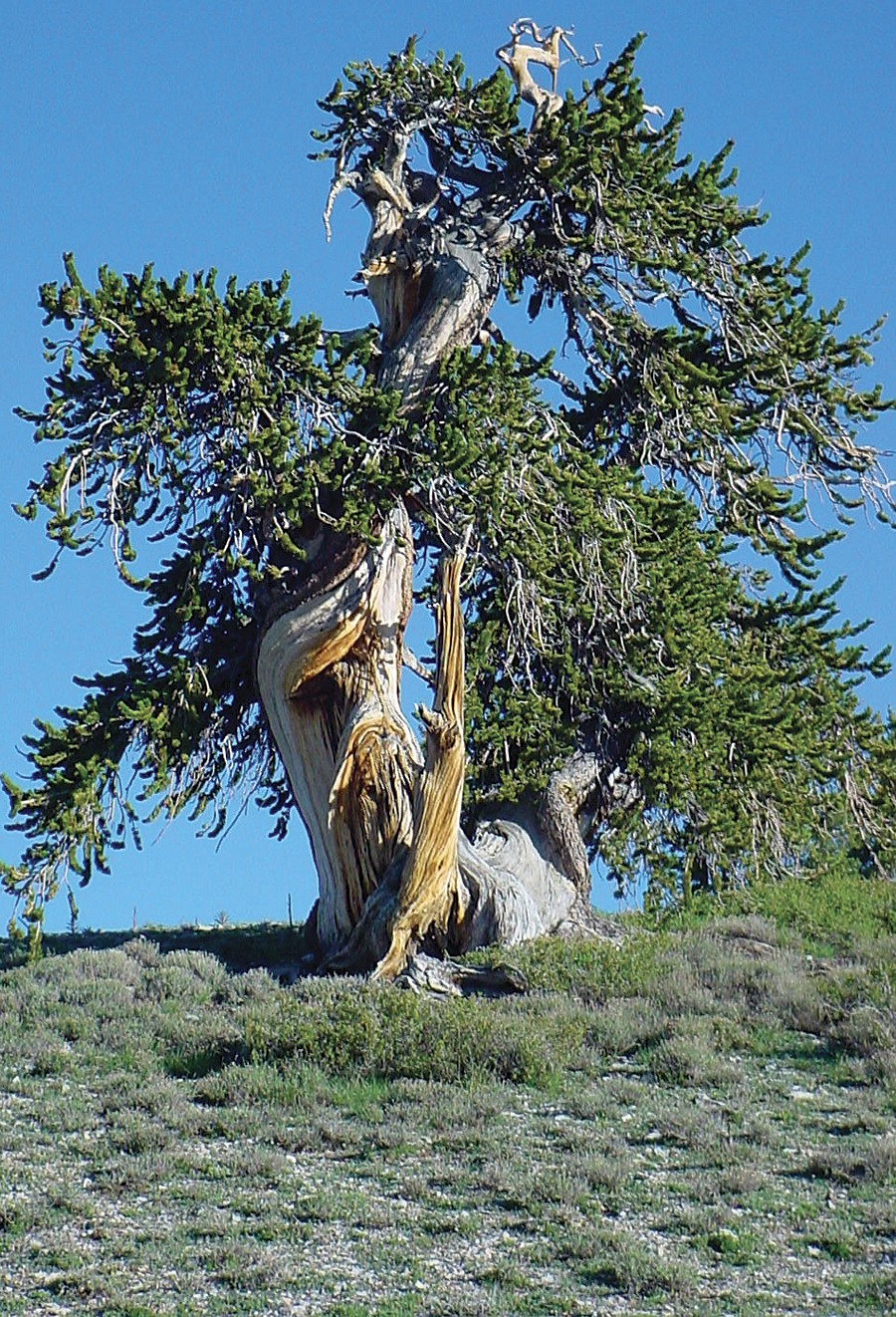 This ancient bristlecone pine (Pinus longaeva) growing near the top of Mount Washington in the Snake Mountain Range in Nevada is very near the upper elevational limit of growth for the species. It is trees like this whose ring-width records reflect past variability in temperature.