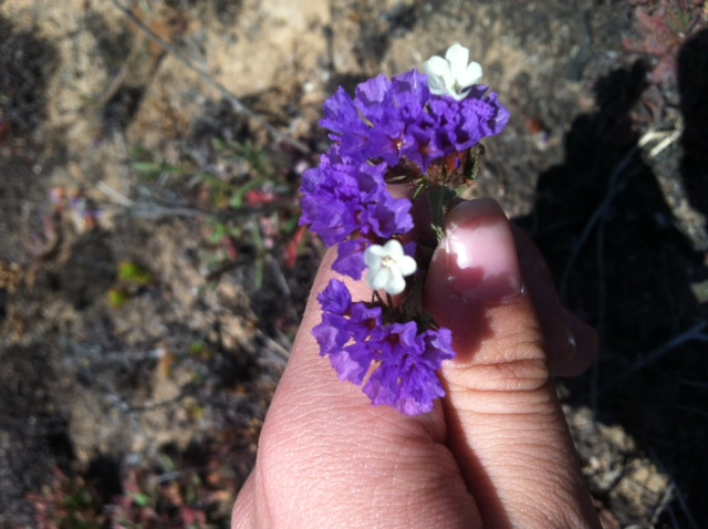 Limonium sinuatum is beautiful but troublesome.
