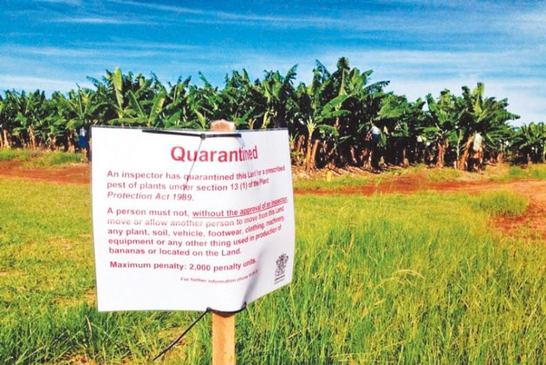 """A sign that says """"Quarantined"""" posted in front of a banana plantation"""
