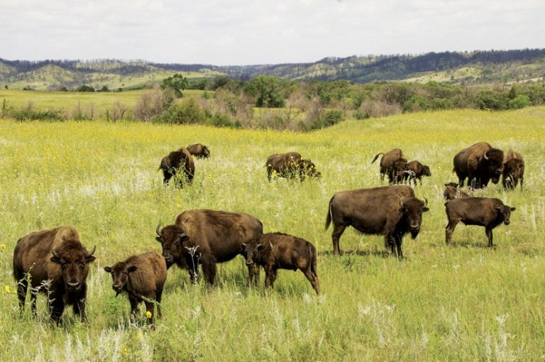 Several bison on a grassy plain