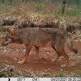 A wolf image captured during an environmental impact assessment