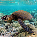 Copy of Green_turtle_swimming_over_coral_reefs_in_Kona