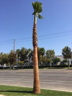 New palm tree