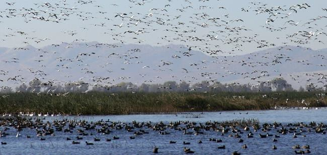 migratory birds at watering hole