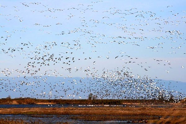 Sacramento Wildlife Refuge: water fowl lift-off