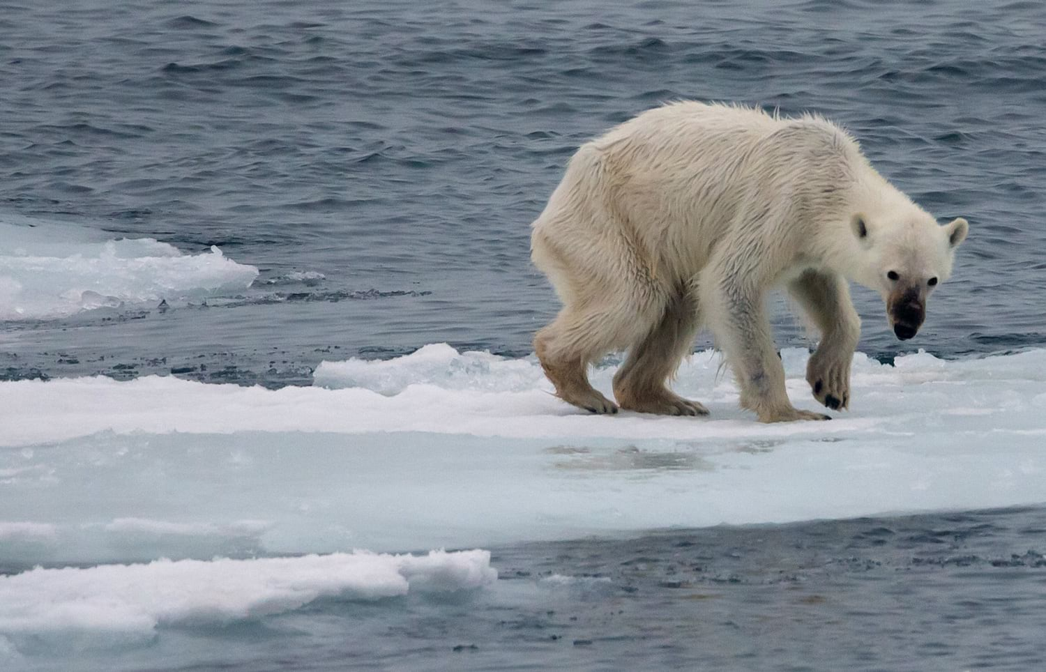 starving polar bear on piece of sea ice
