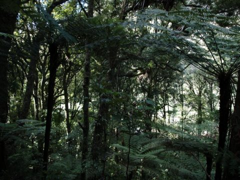 Picture displaying the understory in a Protected Area of a New Zealand Forest