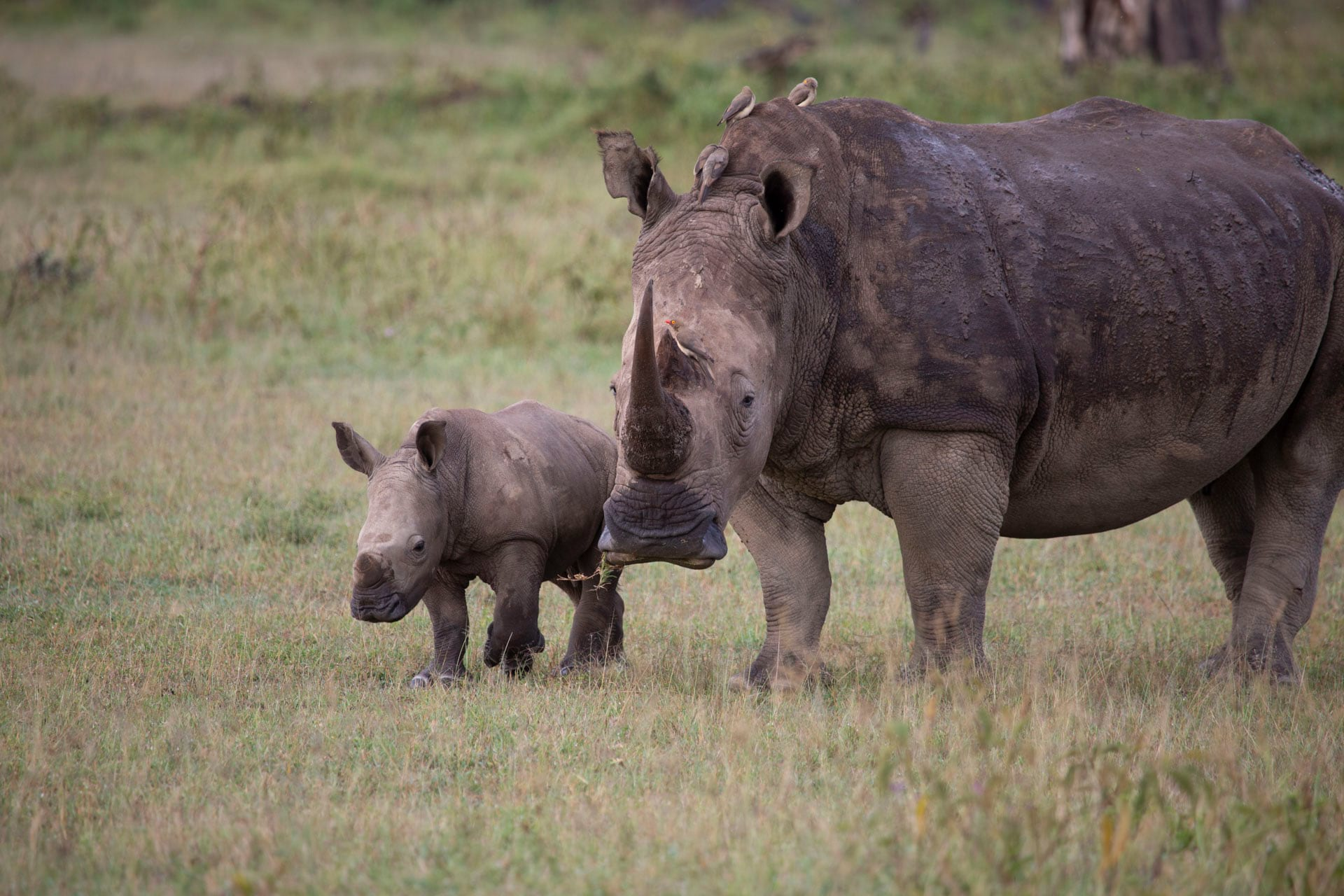 Lake Nakuru National Park is a Rhino sanctuary. Populations of white and black rhino are doing well in the park.