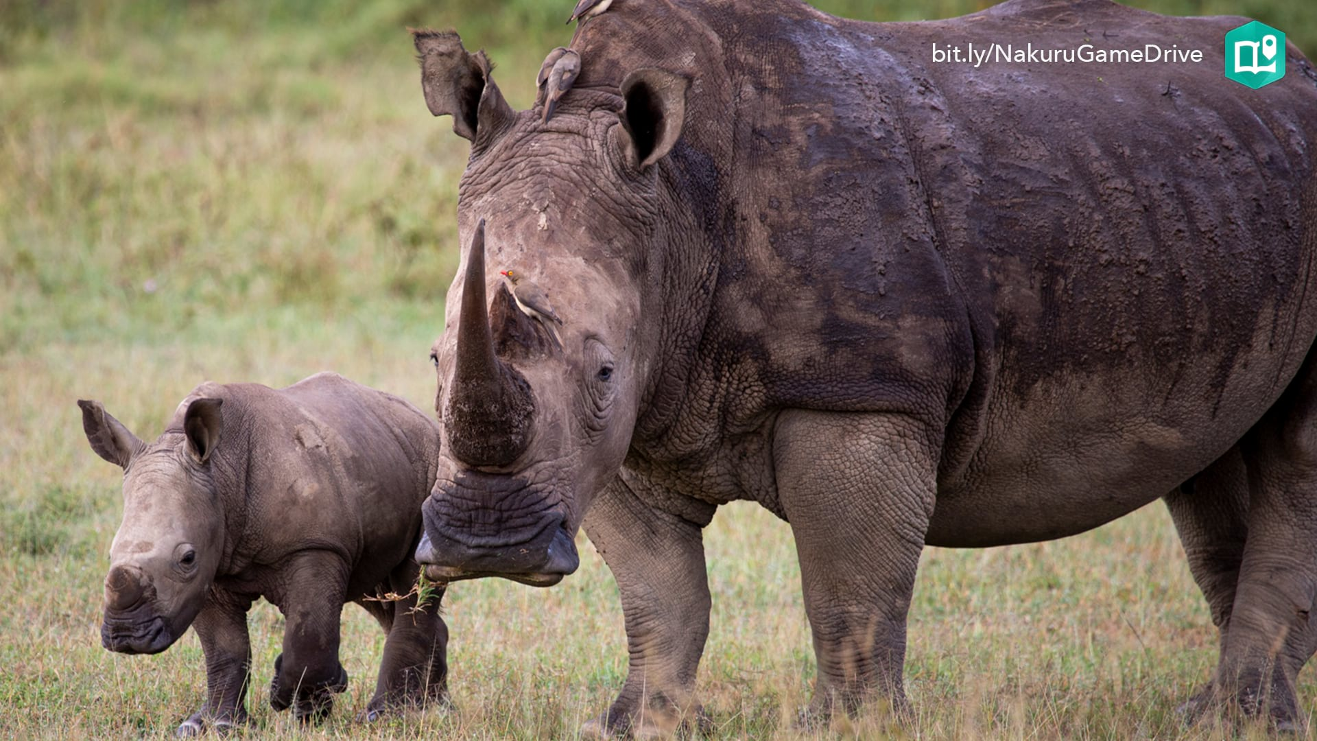A large white rhino stands guard over a year old baby born in Lake Nakuru National Park in Kenya.