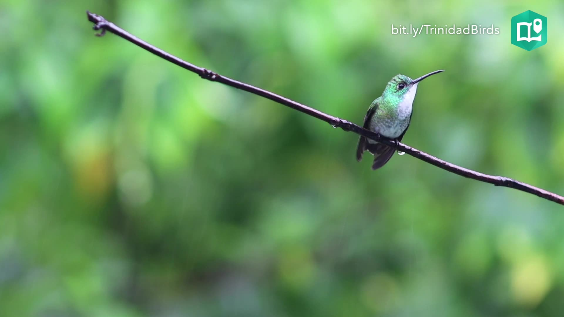 A white-chested emerald hummingbird preens itself at the Asa Wright Nature Center