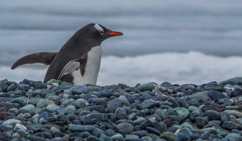 A penguin walks along a rocky beach with wings back and ocean waves rolling