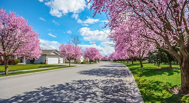 A wide paved road winds through a neighborhood with neatly cut grass and trees with pink blossoms