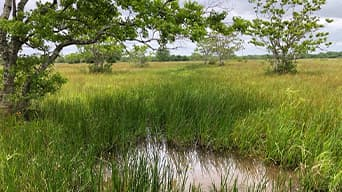 Wetland area with tall grass and trees