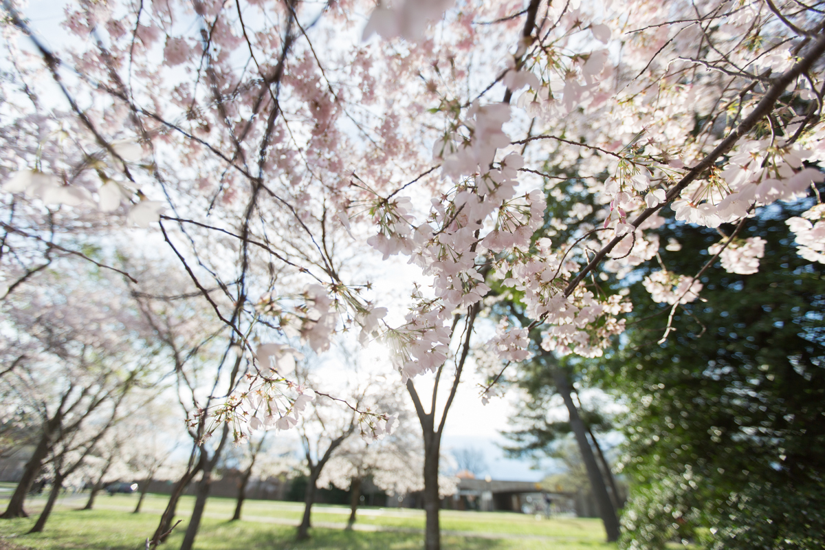 Photo of cherry blossom trees