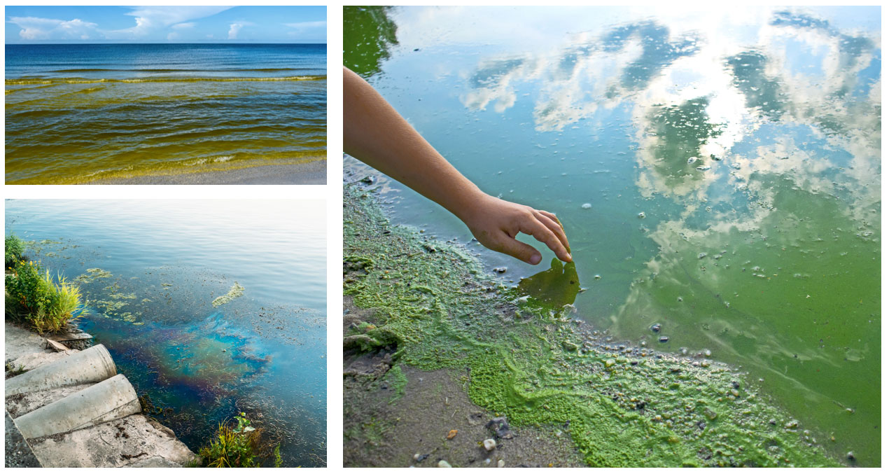 algal blooms chlorophyll concentrations eutrophication
