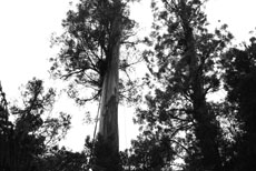 LIDAR and GIS create three-dimensional model of enormous eucalyptus tree