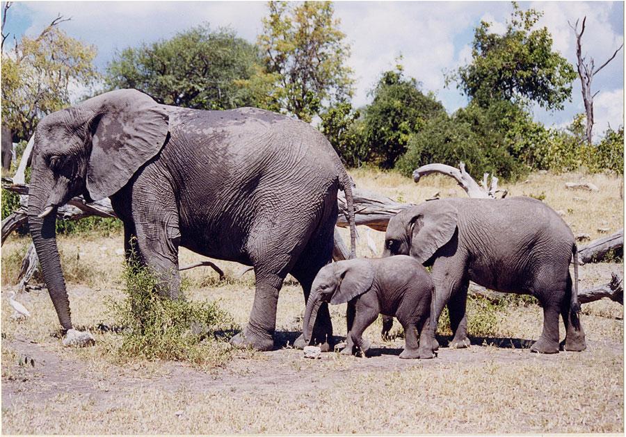 elephants in botswana lg