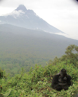 habitat loss of mountain gorillas Get quick facts about the mountain gorillas in uganda, rwanda and congo, their behaviour, feeding patterns, life span, habitat and other ecological facts.