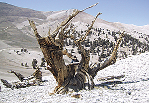 This very large dead bristlecone pine (Pinus longaeva) in the White Mountains of California stands at an elevation over 11,500 feet above sea level and looks down on the harsh tree line environment. The ring series sampled from this tree date from 663 BC to AD 1024.