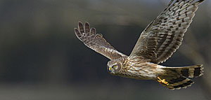The hen harrier could soon become extinct in Ireland if nothing is done to protect and restore upland landscapes.