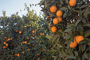 a Riverside County orange grove