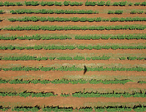 UAV capturing vineyard imagery for analysis.