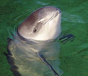 Harbor porpoise, one of the mammals on the IUCN Red List of Threatened Species. (Photo by AVampireTear)