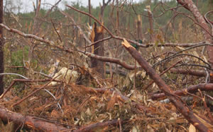 Tornadoes snapped trees in Alabama's forests.