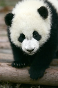You can find photos of Giant Pandas taken in their natural habitats in China on the Smithsonian WILD website.